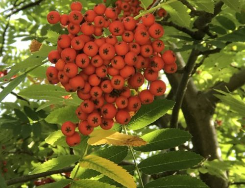 Rowan: The Sacred Witch Tree
