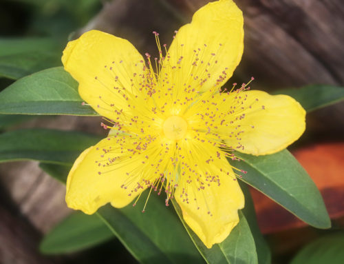 Saint John's Wort: Shine Your Light