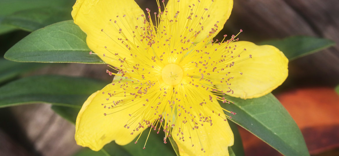 post_st-john-wort_featured_image